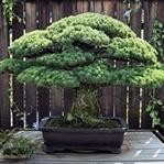 Hiroşima'ya Rağmen Ayakta Kalabilmiş Bonsai Ağacı
