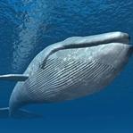 Mavi Balinalar Ne Yer? Nasıl Hayatta Kalır?