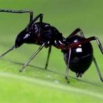 Örümcekler Yavrularını Sütle Besliyor