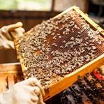 Arı Yetiştiriciliği Nedir, Nasıl Para Kazanılır?