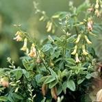 Genç kalmanın sırrı: Astragalus