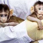 Klon Maymunlarla Tanışın: Zhong Zhong Ve Hua Hua