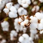 Pamuklu ürünlerde de pestisit ve GDO riski var