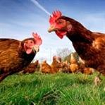 Tavuklar Hakkında İlginç Bilgiler