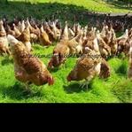 Tavuk Çiftliği Kurmak için İzlenmesi Gereken Yol