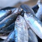 Karadeniz'de Hangi Balıklar Var?