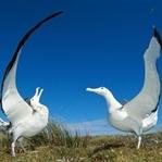 Erkenci Kuşlar: Albatros'un Hikayesi!