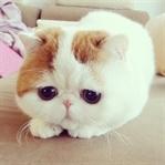 Exotic Shorthair Cinsi Kedi Özellikleri ve Bakımı