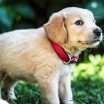 Golden Retriever Köpek Cinsi Özellikleri ve Bakımı