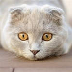 Scottish Fold Kedi Özellikleri Ve Bakımı