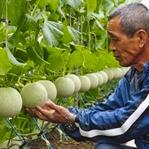 Japonya'nın Doğadaki En Üstün Meyve Kültürü