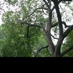Abanoz Ağacı Nedir Faydaları Nelerdir