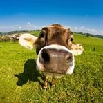 ABD'de Hayvancılık Para Kazandırıyor mu?