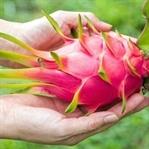 Ejder Meyvesi Nedir? Nereden Bulabiliriz?