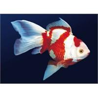 Kırmızı Beyaz Japon Balığı