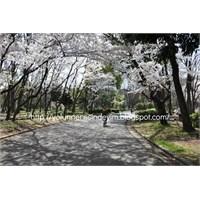 Sakura- Meijo Koen Nagoya