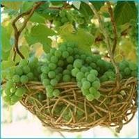 Yeşil Üzüm En Güçlü Antioksidan