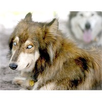 Dünyada Yasaklı 5 Köpek İrkı