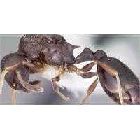 Karıncalar Düşmanlarını Tanıyor