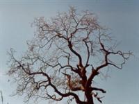 Ardıçkuşu Ağacını Terkedince...