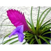 Tillandsias (Air Plants) Çiçeği