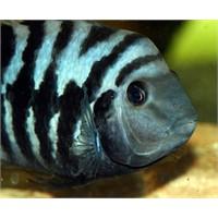 Çizgili Zebra Ciklet Balığı