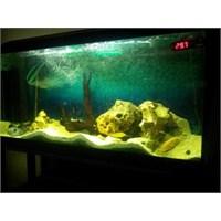 Beta Balığı Ve Beslenme Önerileri