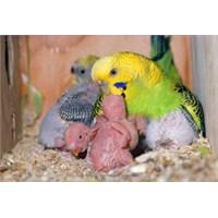 Muhabbet Kuşu Üretimi İle Para Kazanılır Mı?