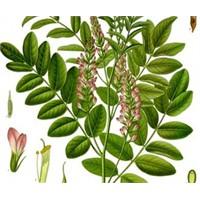 Doğal Kortizon İlacı Meyankökü