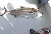 Akya Balığı, Avlanma Yöntemleri