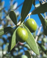 Zeytin Yaprağı Özü Ve Kahve İle Zayıflayın