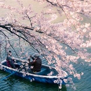 Japonya'da Sakura Ağaçları – Kiraz Çiçekleri