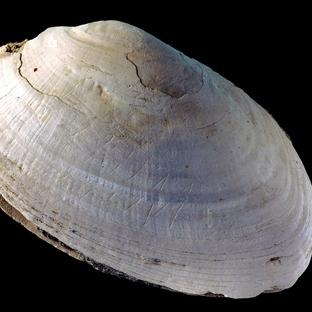 540.000 Yıllık Midyede Dünyanın En Eski Çizimleri