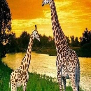 Kahve Falında Zürafa Çıkması