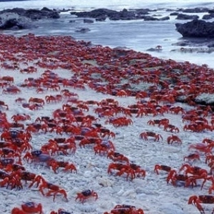 Kızıl Yengeçlerin Muhteşem Aşk Göçü