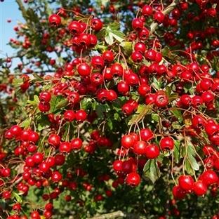 Damar Sağlığı için Alıç Meyvesi