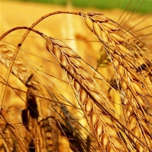 Maden ararken yerli buğday türlerini buldu!