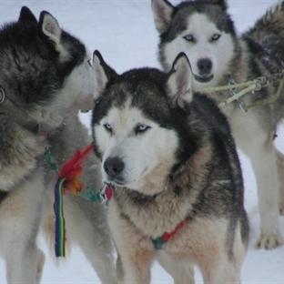 İnsan ve Köpek Dayanışması Bir Kasabayı Kurtardı