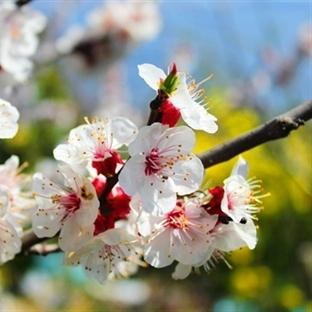 Benim Bahar Çiçeklerim