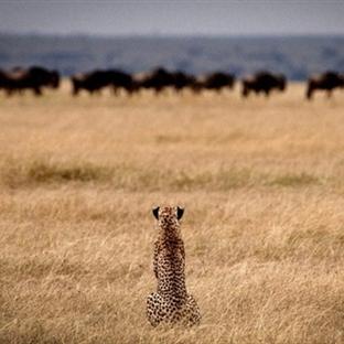 Dünyanın En Vahşi Milli Parkı: Serengeti