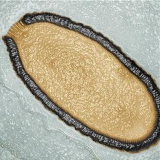 Sibiryada Buzullardan 30000 Yıllık Dev Virüs Çıktı