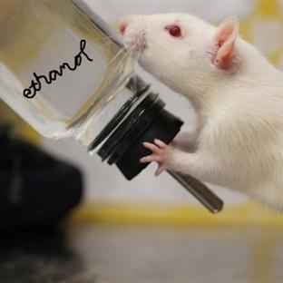 Beynimizde Alkol Alınımına Nasıl Karşı Koyar ?