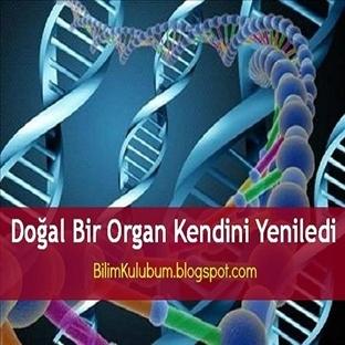 Doğal Bir Organ Kendini Yeniledi