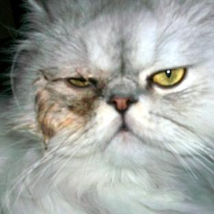 Kedilerin Gözlerindeki Akıntı ve İltihaplanma