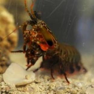 Mantis Karidesi Uçaklardan Daha Dayanıklı