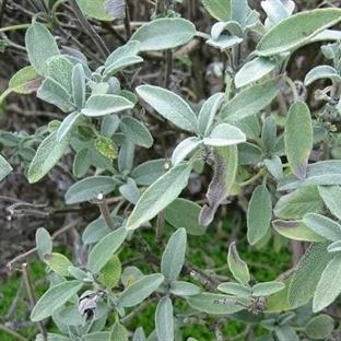 Mucizevi bitkinin inanılmaz faydaları