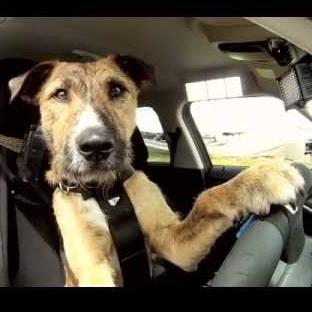 Dünyanın İlk Araba Kullanan Köpeği