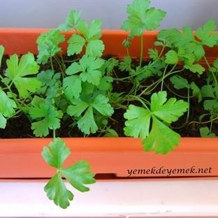 Evde Maydanoz-Yeşil Soğan Yetiştirme