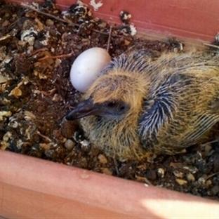 Güvercin yavrusu ve yumurtası
