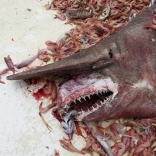 Karidesçinin Ağına Goblin Köpekbalığı Takıldı